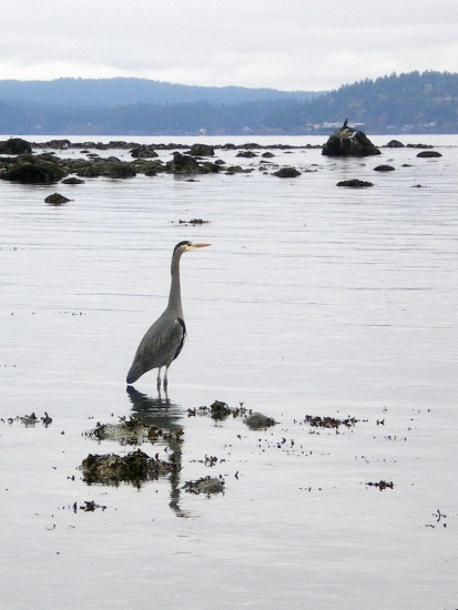 Great Blue Heron waiting...