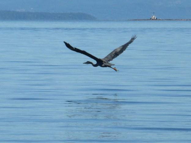 heron over water